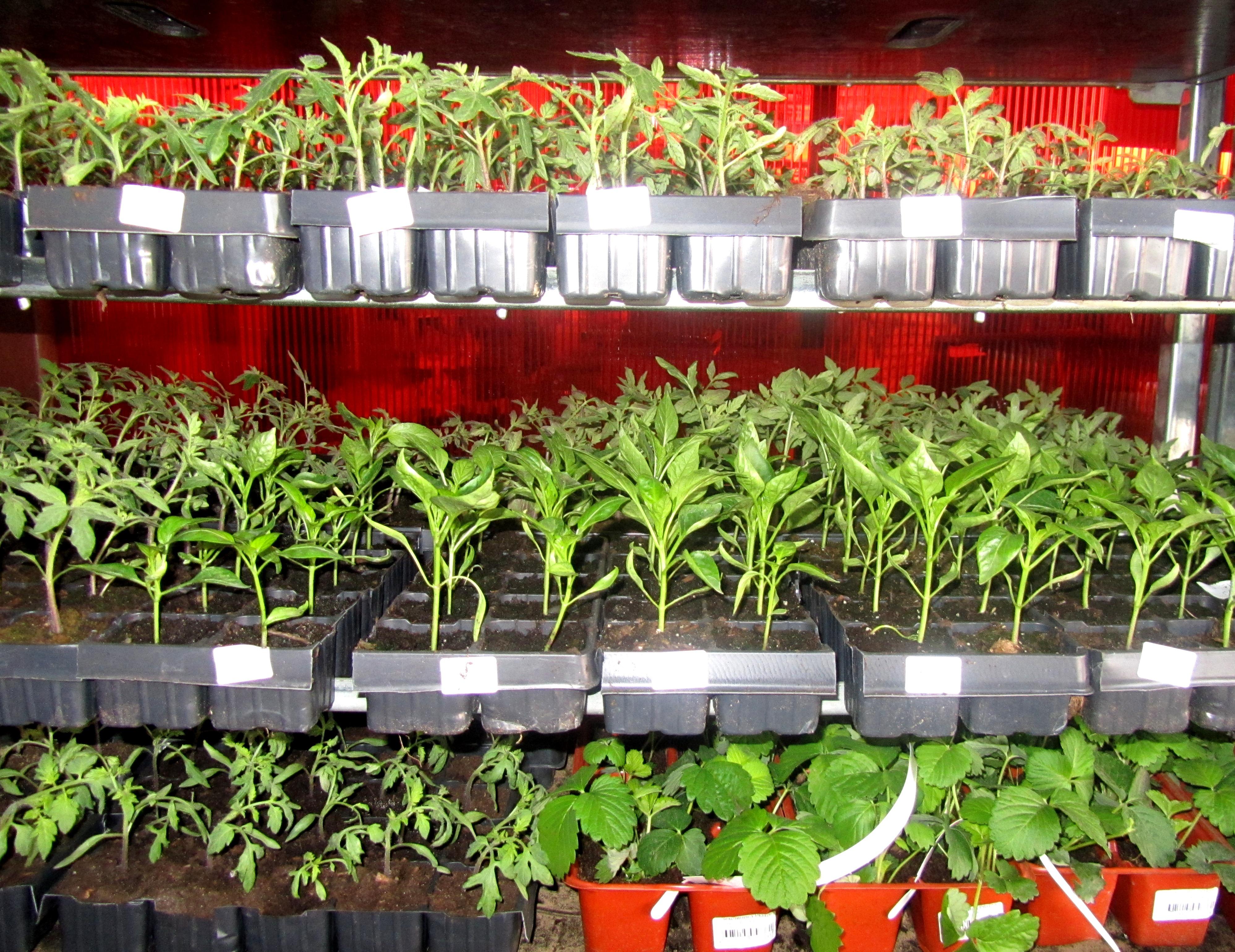 Выращивание рассады овощей и цветов